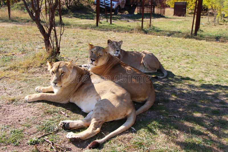 Three lionesses lies in safari park stock photo