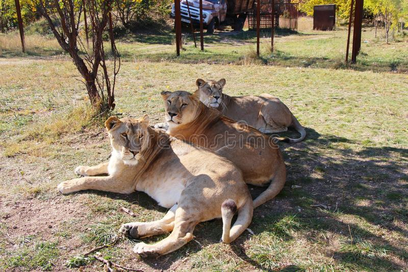 Three lionesses lies in safari park royalty free stock images