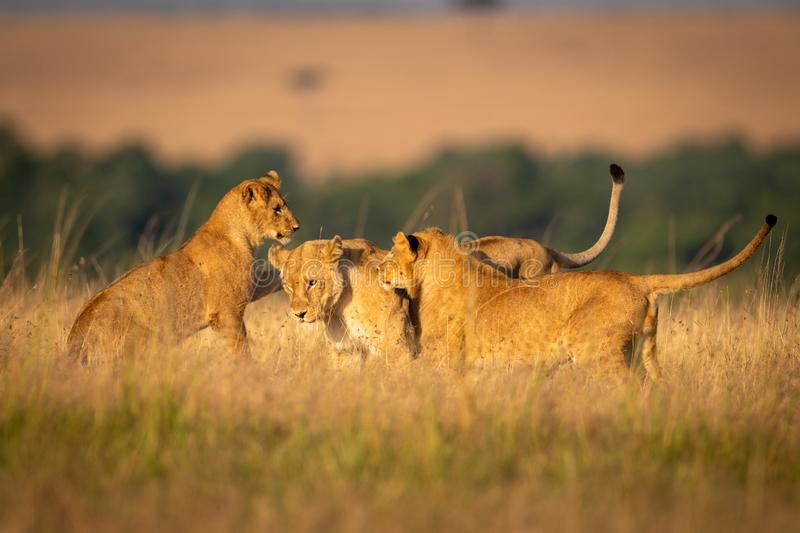 Three lionesses play fight in long grass royalty free stock images