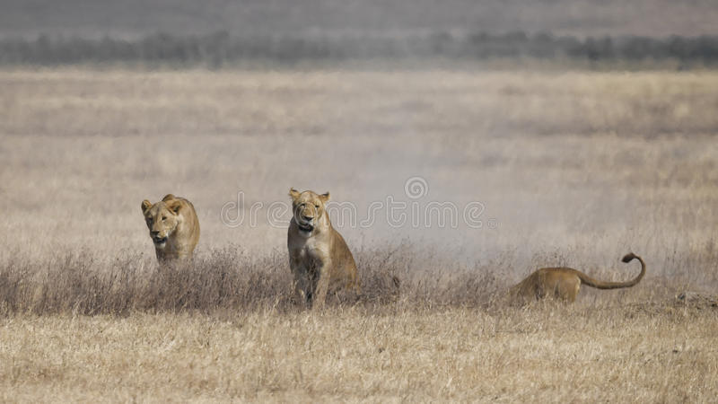 Three lionesses pursue an underground warthog royalty free stock photo