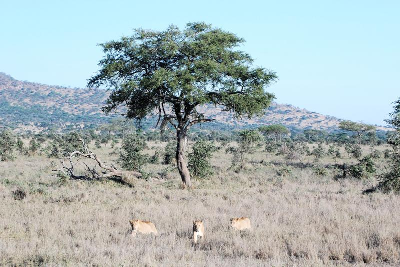 Three lionesses receding in dry grass from a tree. Serengeti National Park Tanzania royalty free stock images