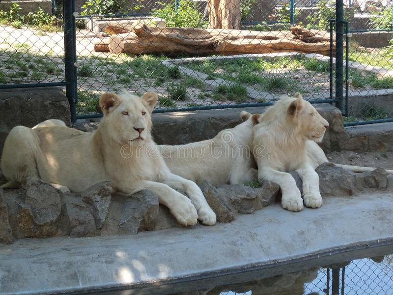 Three lionesses are resting stock photos