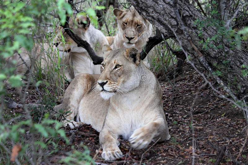 Three lionesses resting under the shade of a tree stock images