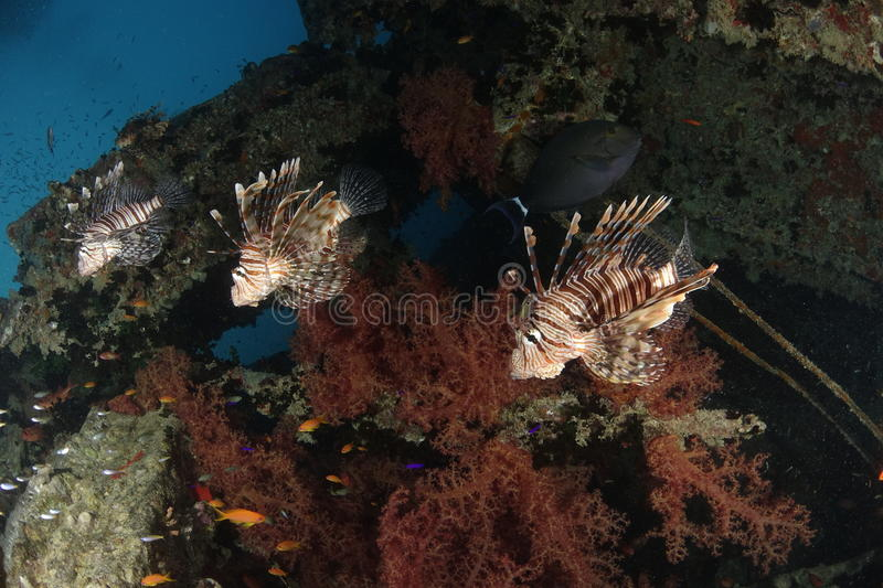 Three lionfish. In a row in the Red Sea. Picture was taken at the wreck of the Thistlegorm stock images