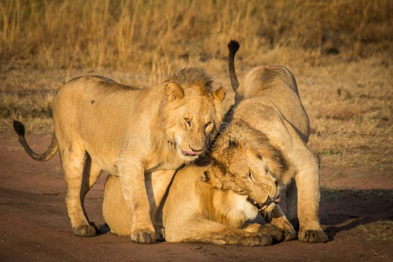 Three Lions Cuddle. A pride of lions playfully cuddle on the savanna in Serengeti National Park in Tanzania stock photo