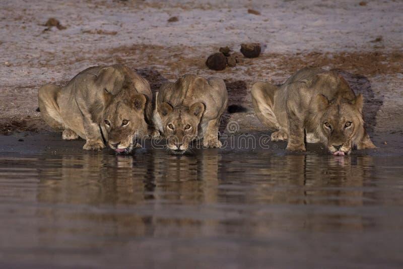Three lions drinking at night stock image