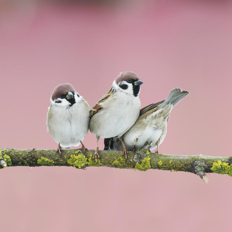 three little birds on a tree in the spring garden royalty free stock image