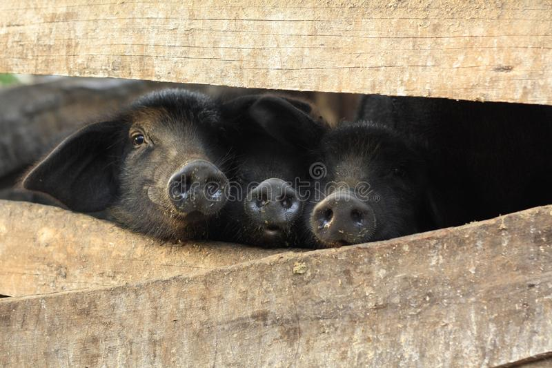 Three little black pigs in a pen stock photo