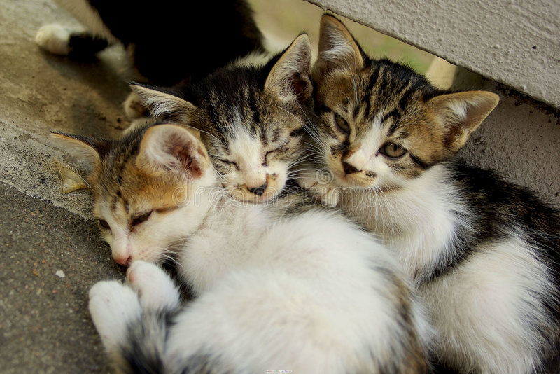 Three little cats stock image
