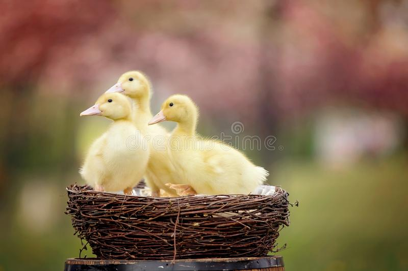 Three little ducklings in a spring park in a nest. Blooming trees royalty free stock image