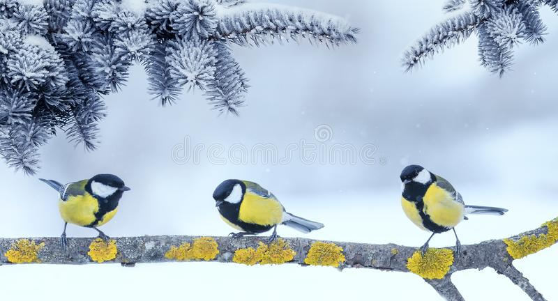 Three little funny bright beautiful bird Tits sitting under fir branches in winter new year Park. Three little  bright beautiful bird Tits sitting under fir stock image