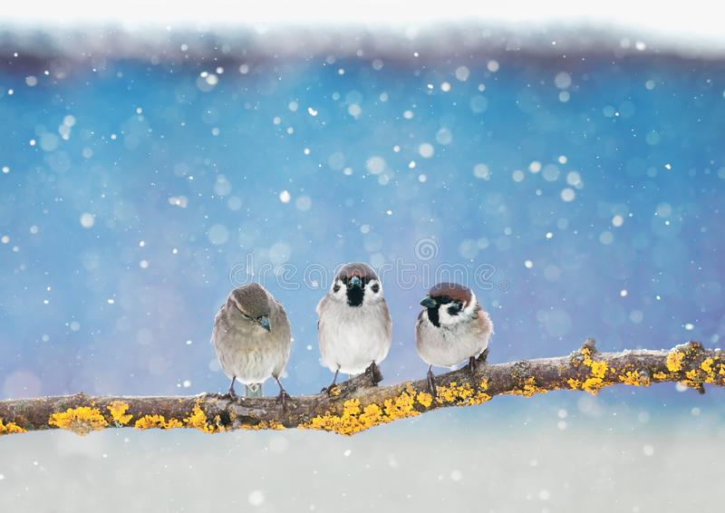 Three little funny Sparrow birds are sitting in the winter holiday new year Park under the snowfall royalty free stock photo