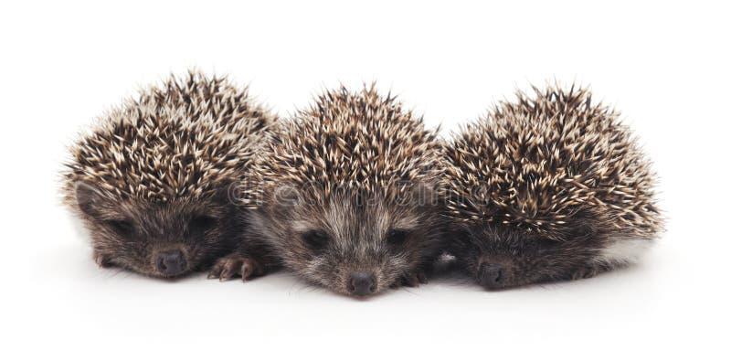 Three little hedgehogs. Three little hedgehogs on a white background stock photos