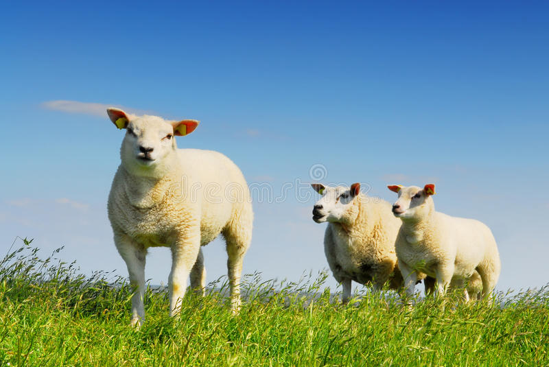 Three little lambs royalty free stock image