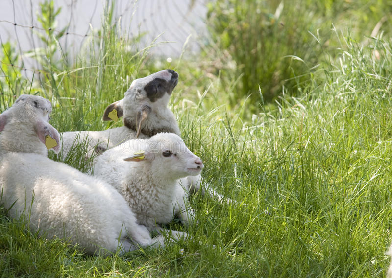 Download Three little lambs stock photo. Image of white, marked - 12099978