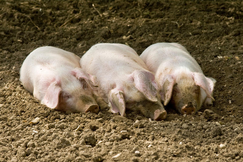 Three little pigs royalty free stock photo
