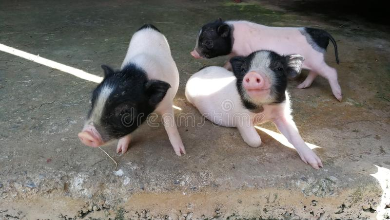 Three little pigs in the farm royalty free stock photo