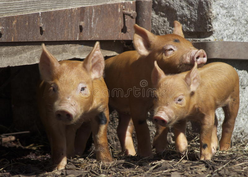 Three Little Piglets stock images