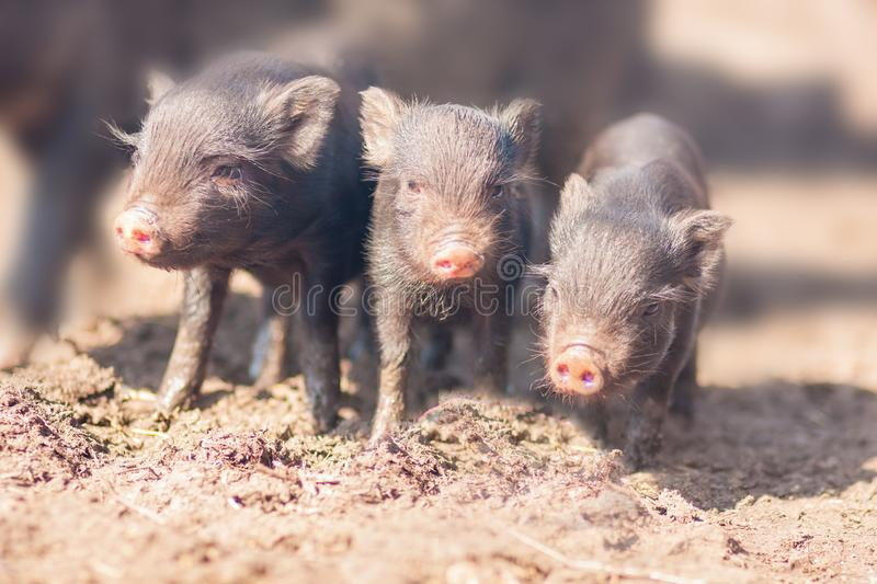 three little pigs. Three small and lovely stock photo