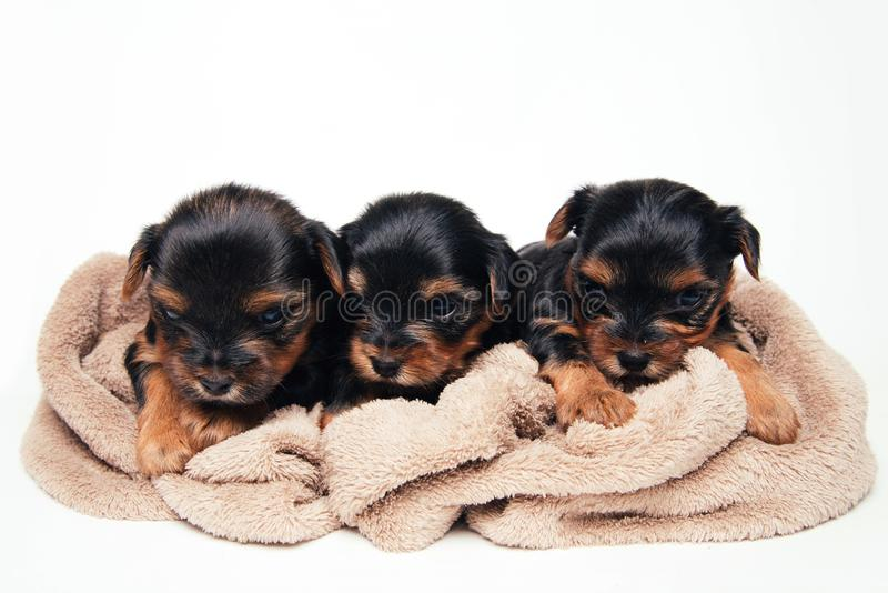 Three little puppy in studio royalty free stock images