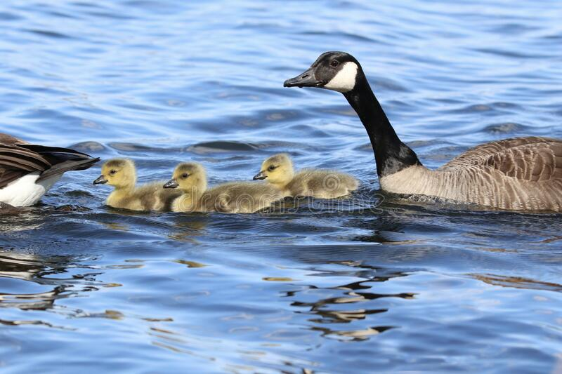 Three Little Spring Goslings Swimming with Their Parents stock photo