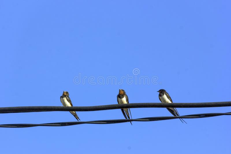 Three little swallow birds stock image
