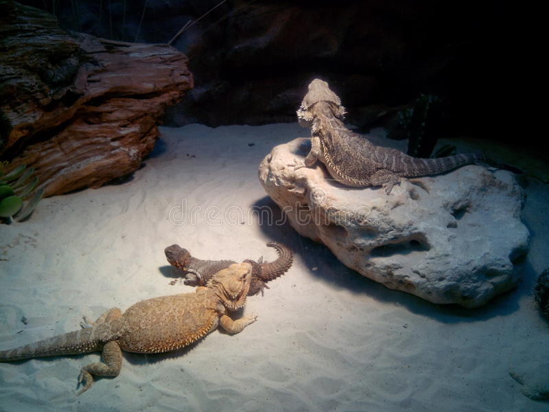 Three lizards in the midnight desert royalty free stock photo