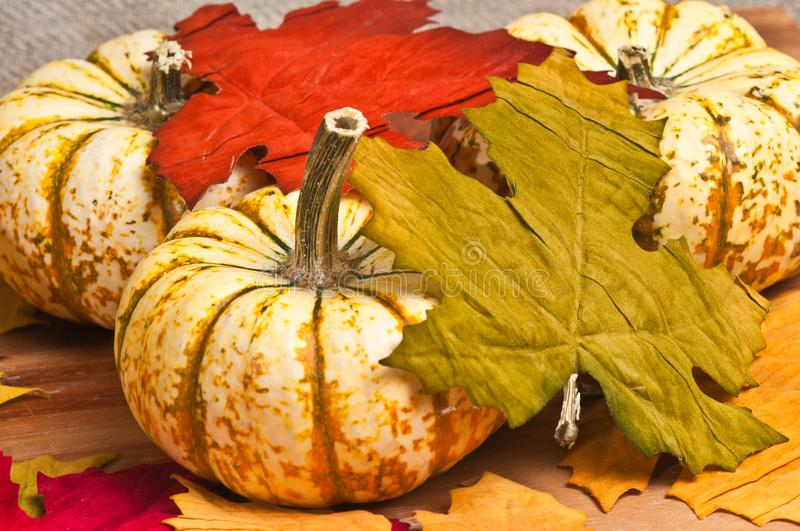 Three local Thanksgiving hand picked pumpkin royalty free stock images
