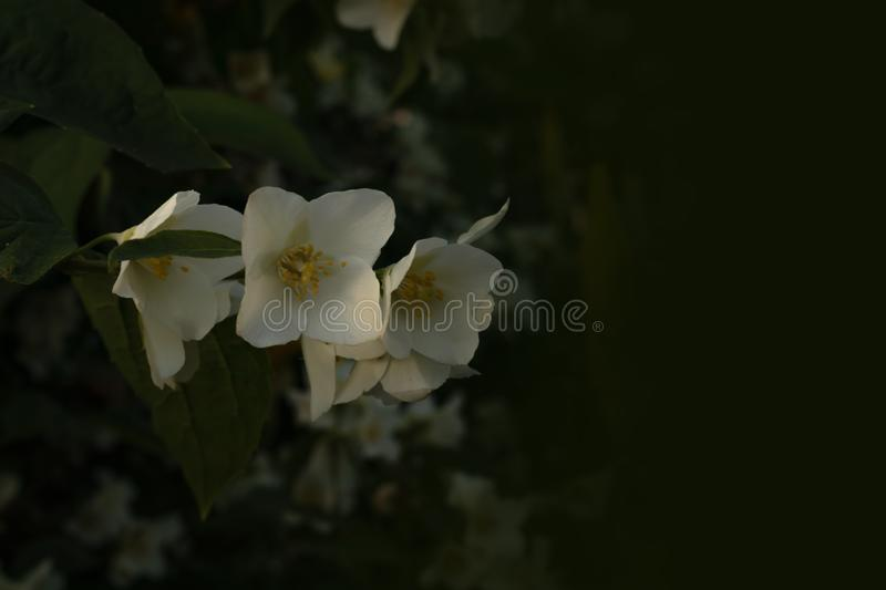 Three loose jasmine flowers with white petals on a green branch with leaves.  stock photos