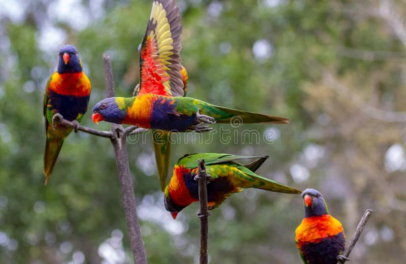 Three lorikeets on adjacent branches with another flying past. A fifth lorikeet is hidden behind one of the lorikeets royalty free stock photography