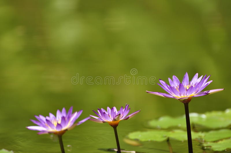 Download Three lotus flowers stock photo. Image of beauty, color - 15596678