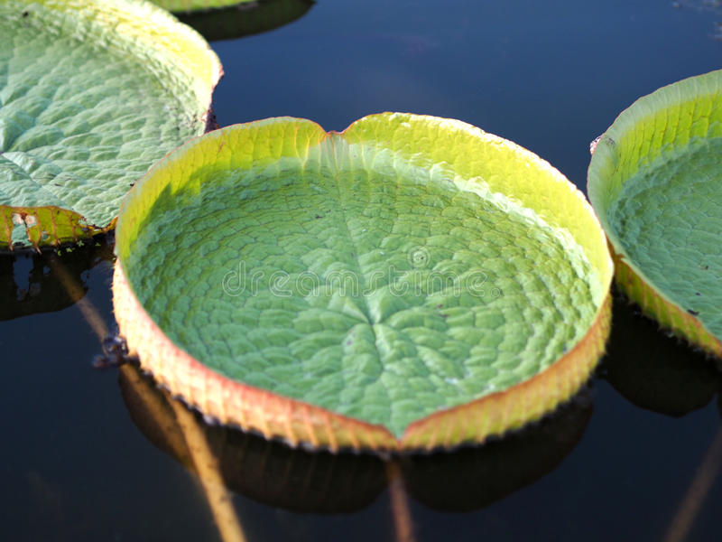 Three lotus leaves in water royalty free stock photo