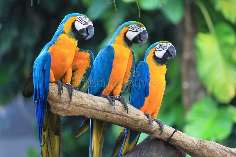 Three macaws. Beautiful Three macaws in the safari stock photos