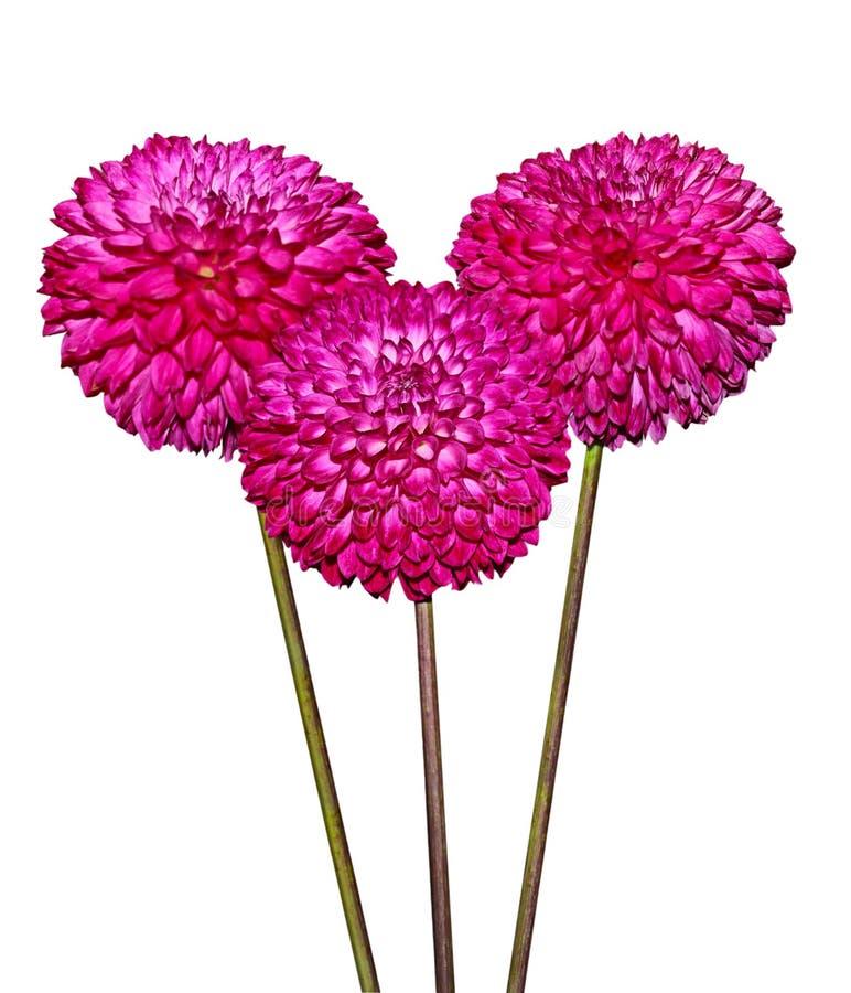 Download Three Magenta Dahlia Flowers Stock Photo - Image: 22070328