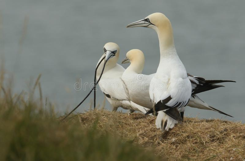 Three magnificent Gannet Morus bassanus standing on the edge of a cliff, one of the Gannets has a long piece of nesting material royalty free stock photography