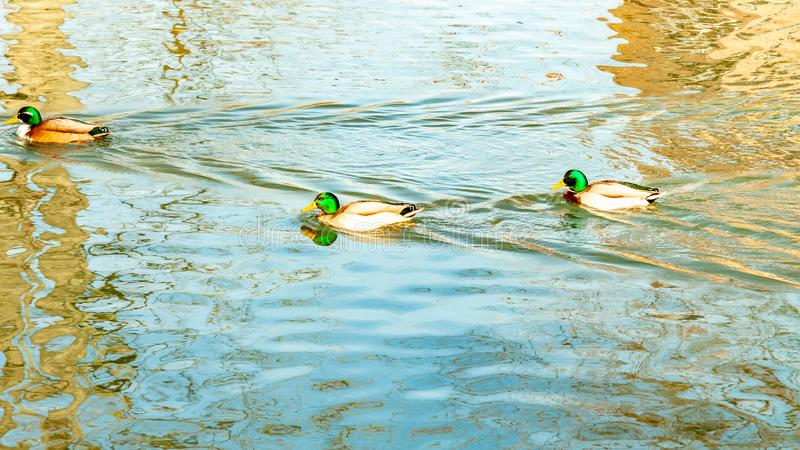 Three mallard ducks swimming calmly in a pond with crystal clear water stock images