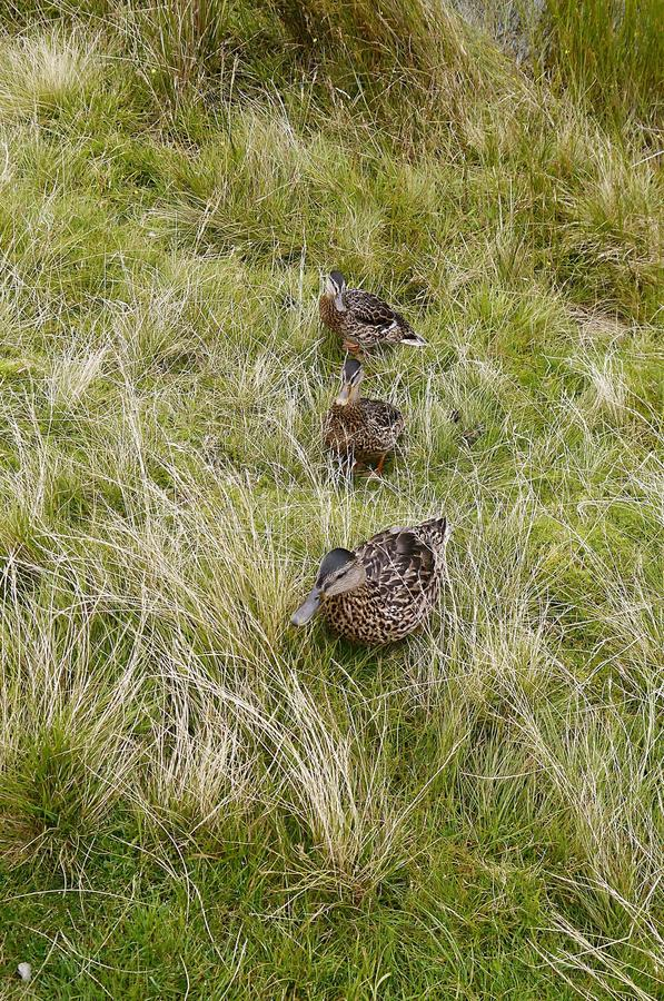 Three Mallard ducks in vertical line in long grass royalty free stock photography
