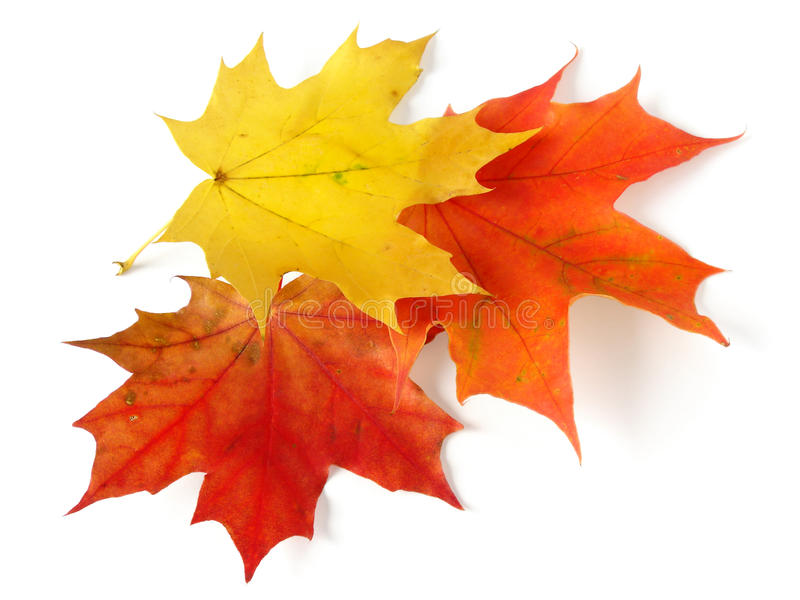Download Three maple leaves stock photo. Image of fallen, awesome - 11406374