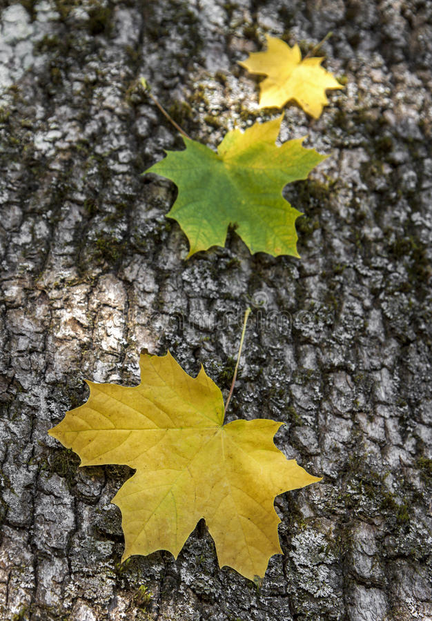 Three maple leaves stock photography