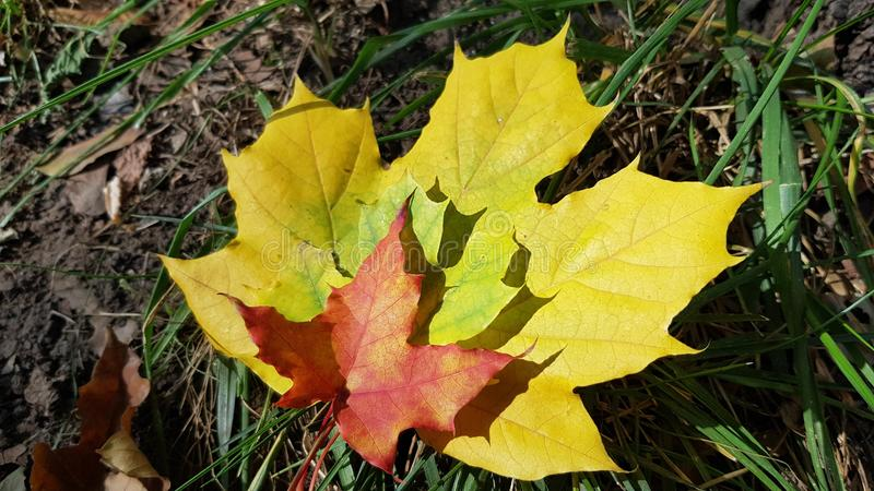 Three maple leaves of different colors and sizes closeup stock photography