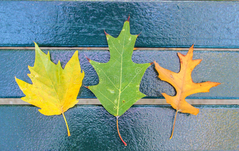 Three maple leaves stock photo