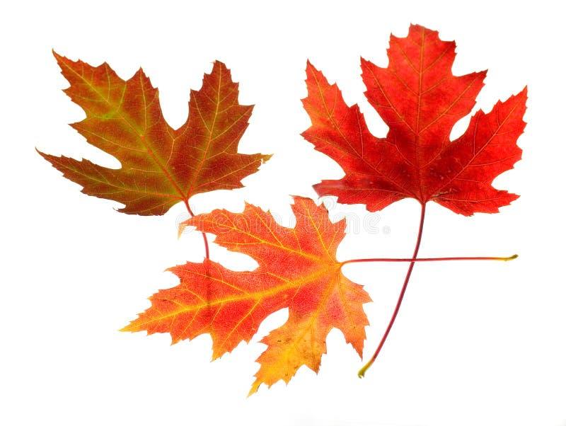 Three Maple Leaves on White royalty free stock photos