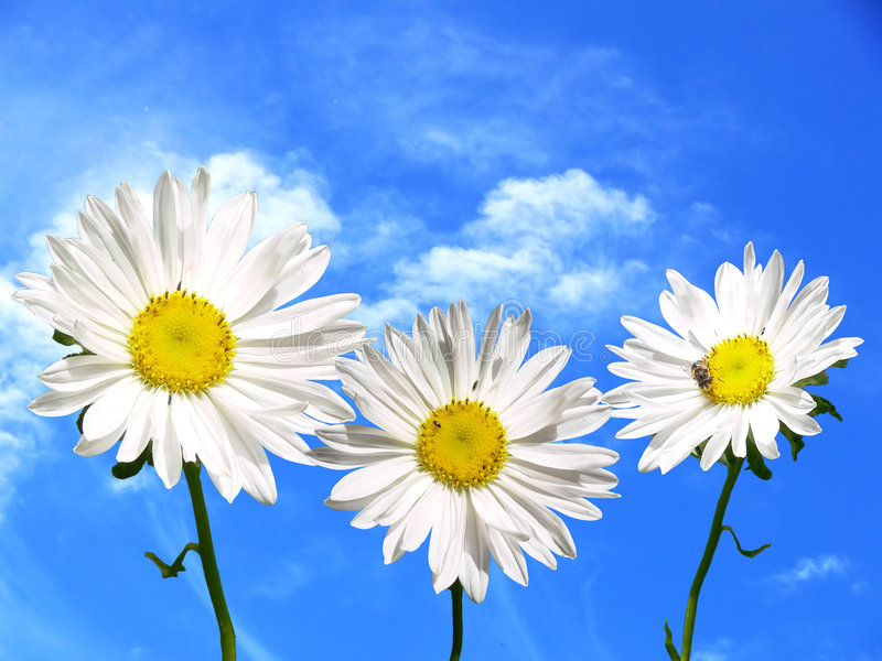 Three marguerite stock photos