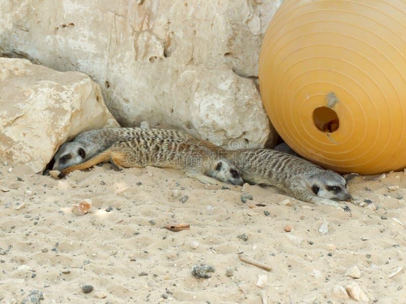 Three Meerkats resting stock image