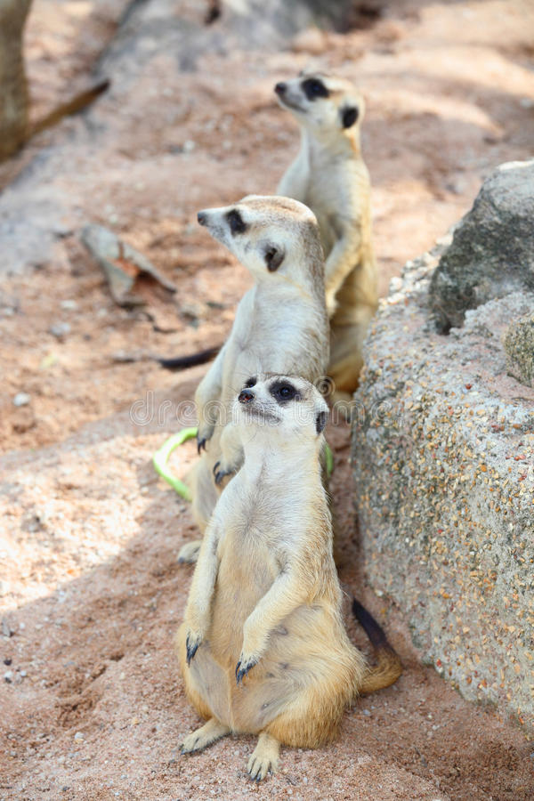 Three Meerkats (Suricata Suricatta) Are Watching T Royalty Free Stock Images