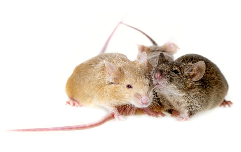 Three mice stock photography
