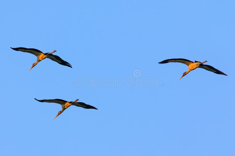 Three of a migrant kind. A small flock of Wood Stork, Mycteria americana, pass overhead as they migrate through the Bald Knob National Wildlife Refuge in Bald stock photos