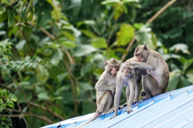 Three monkeys sit and play on the roof royalty free stock photography