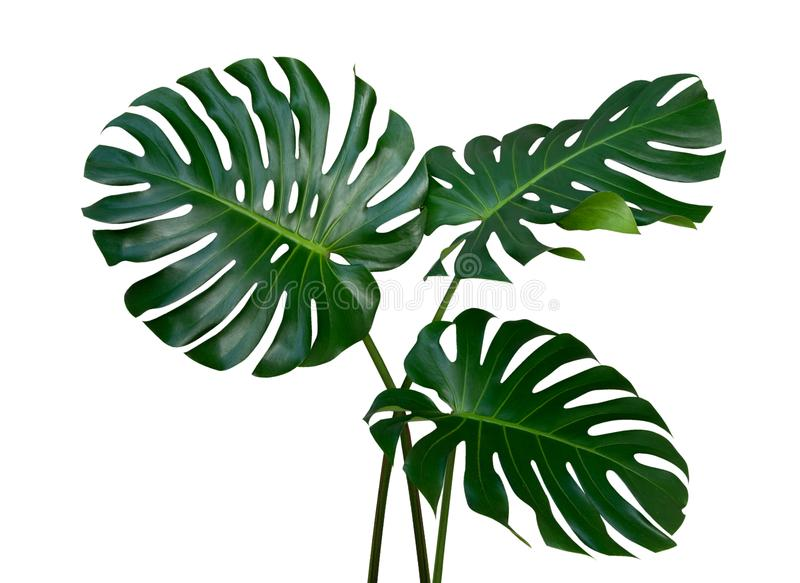 Three Monstera plant leaves, the tropical evergreen vine isolated on white background, path. Monstera plant leaves, the tropical evergreen vine isolated on white royalty free stock image