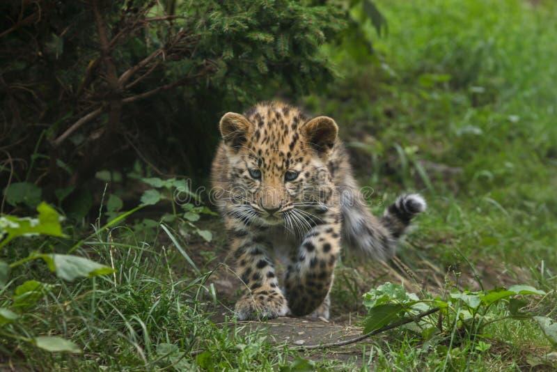 Amur leopard Panthera pardus orientalis stock photo